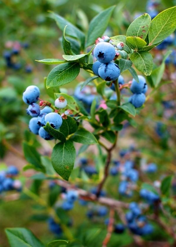 Blueberries on the bush.