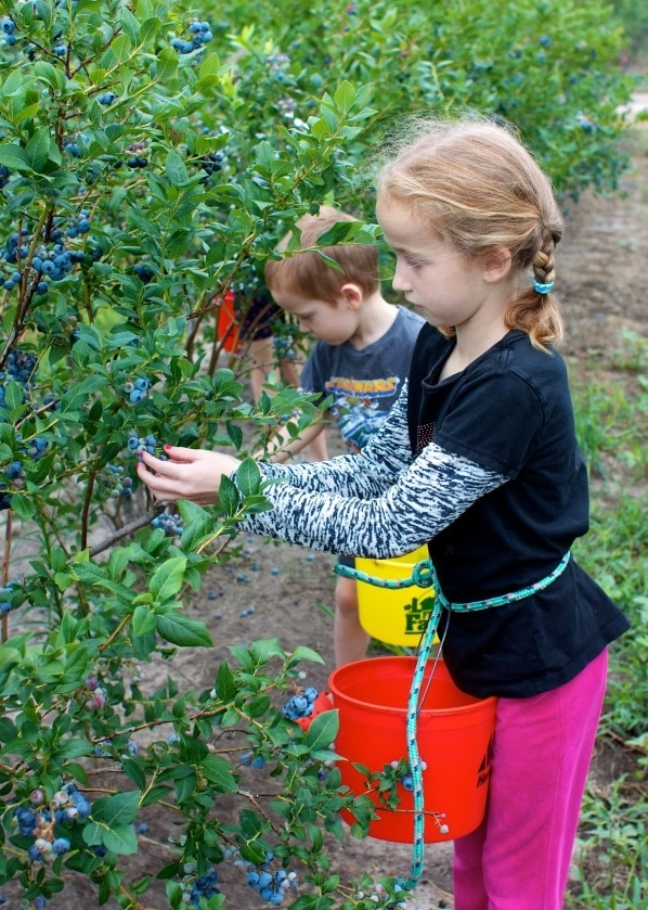 Kids picking blueberries in the fields.